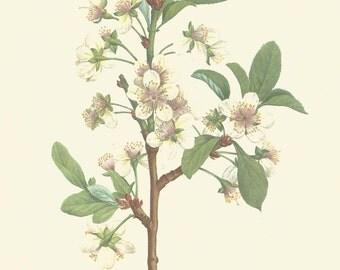 Plum Blossom by P J Redoute Botany Flower Print 1979 Botany color print Wall Art Home Decor Vintage Print Modern