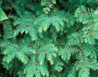 Dawn Redwood, Metasequoia,  fast growing specimen tree or bonsai.