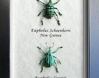 Colorful Purple Green Weevil Eupholus Real Beetles Framed In Shadowbox