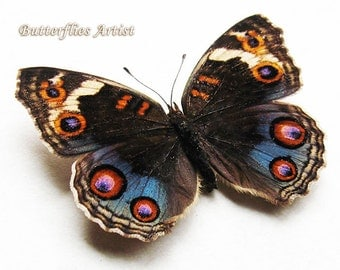 Blue Pansy Junonia Orithya Real Butterfly In Shadowbox