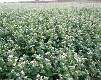 Cover Crop: Manor buckwheat. CERTIFIED ORGANIC (3 lb option)