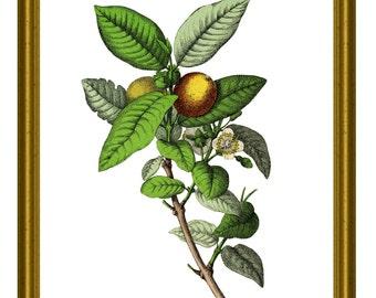 Guava Print Lemon Print Wall Art Decor Kitchen Print Citrus Fruit Guava Print