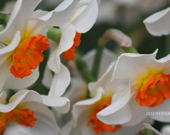 Daffodil, White Daffodil, Flower, Springtime, wall art, home decor,