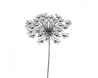 Black and White Floral Photography - Queen Annes Lace - Delicate Flower - Botanical wall gallery