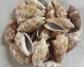 Small Shells, Beach Decor, Seashells, Shells, Craft Shells, Bat Volute Shells
