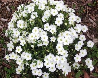 Arenaria Montana- 50 seeds