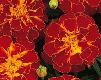French Marigold Durango Red * 25 Seeds