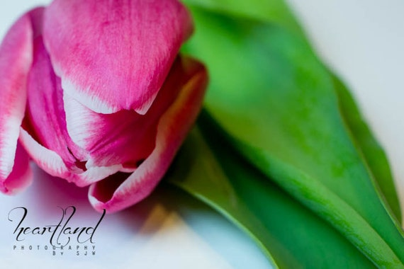 Pink Tulip Flower,  Pink and Green, Macro Photography, Spring Photos, Flower Images, Close Up Pictures, Modern Wall Art, Fuchsia Decor