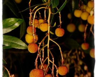 Arbutus unedo 'Strawberry Tree' 35+ SEEDS