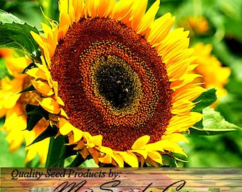 TAIYO Sunflower Seed - Orange yellow flowers with a chocolate center - POPULAR FLORIST Variety