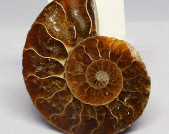 Ammonite. 35mm x 46mm.  Fossil