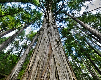 Old growth tree forest nature landscape photography print, wall decor