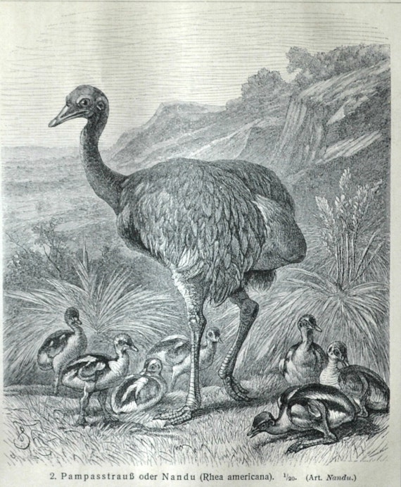 Ostrich print. Birds. Natural history. Old book plate, 1904. Antique illustration. 111 years lithograph. 9'6 x 6'2 inches.