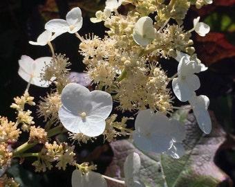 Flower Photo Art, Prints or Cards, Oak Leaf Hydrangea