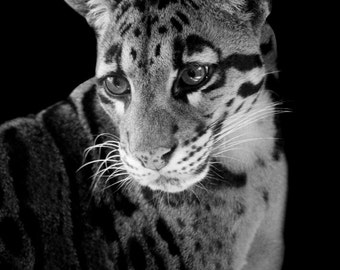 Clouded Leopard Fine Art Photography, Asian Big Cat, Exotic Wildlife and Zoo Animal Home Decor, Nature Wall Art