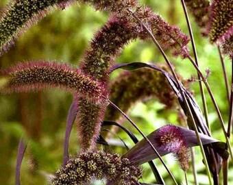 Foxtail Millet Red Jewel Ornamental Grass Seeds (Setaria italica) 35+Seeds
