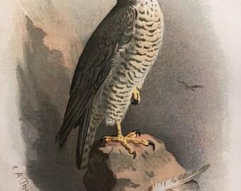Antique Original Print 1901 Britsh Birds Peregrine Falcon