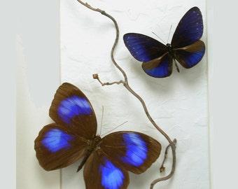 Elegant Blues - Jungle Glory - Real Framed Butterflies
