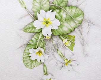 ORIGINAL WATERCOLOR of PRIMROSES . Botanical watercolor. Primulas. . Watercolor. Cowslips. Italy. Italian flowers. Liguria.