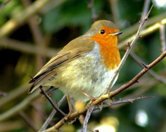 Robin red breast, photograph, bird photography, animal pictures, country wildlife, photos, countryside photographs, nature, wall art decor