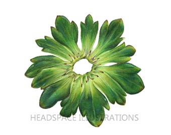 Strawberry Leaves Stem  -  Colored Pencil Flower Botanical Print by Headspace Illustrations