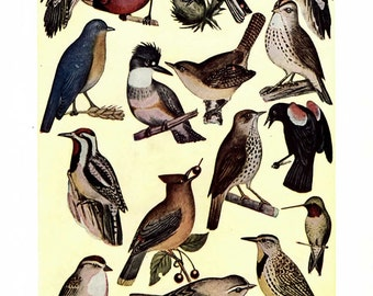 Bird Illustration, Bird Print- 2 vintage color 1930s encyclopedia book pages, nature print, bird wall art, bird decor, natural history print