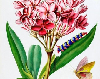 antique french botanical print pink plumeria butterfly illustration digital download