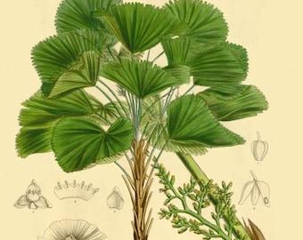 antique french botanical print ruffled fan palm tree illustration digital download