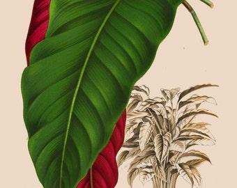 antique french victorian botanical print calathea arrecta green tropical plant illustration digital download