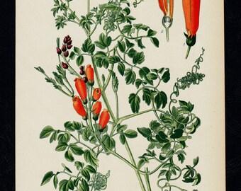 1896 BOTANICAL antique print, flower print chromolithograph of a  eccremocarpus scaber