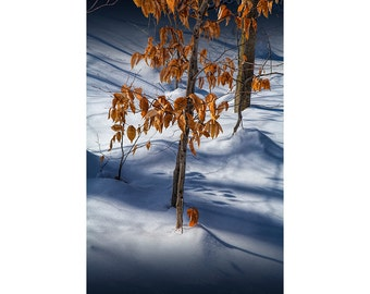 Orange Autumn Leaves left on the branch in the Winter Snow in the Upper Peninsula of Michigan No.0581 Fine Art Seasonal Landscape Photograph