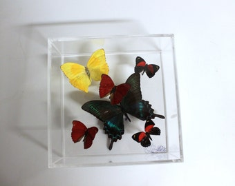 Full House - One of a kind real butterfly panel