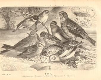 1879 Buntings, Emberizidae, Yellow-breasted Bunting, Corn Bunting, Yellowhammer, Little Bunting, Snow Bunting Original Antique Engraving