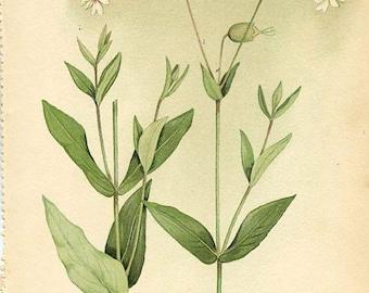 Botanical Weed Illustration Book Page  22 - BLADDER CAMPION