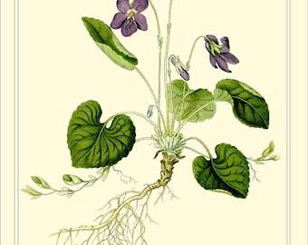 WOOD VIOLET - Botanical instant digital download file 1901 Lindman