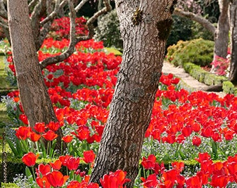 Bright Red Tulips Photogrpahy, Spring Photo, Garden