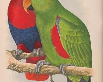 Two Parrots vintage bird illustration Digital Download