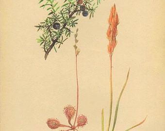 Vintage Edwardian Juniper Berries Herbs 126 Botanical Print plant print botanical print flower bookplate art print 1970 plants wall art
