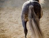 SPIRO, Andalusian Horse, Dapple Grey, Art Print, Wall Decor, Equine Art, Horse photography