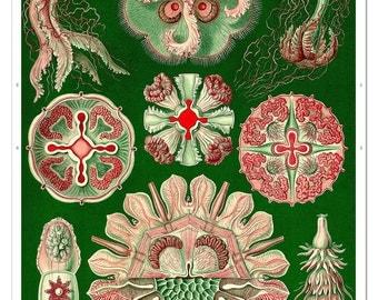 Ernst Haeckel Jellyfish Art Print, Haeckel Print, Jellyfish Poster in Green, Nautical Wall Art, Ernst Haeckel Illustration, Educational Art
