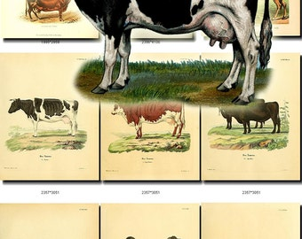 HOOFED CATTLE FARM-1 animals Collection of 52 vintage images Cows Sheep Bulls Camels Home Pet Oxen High resolution digital download home pet