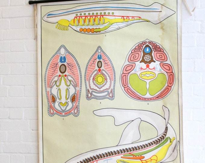 Large German Anatomical Chart Of The Shark Circa 1960's