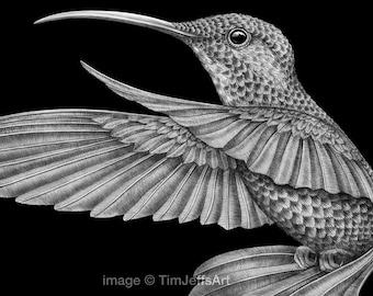 Hummingbird Ink Drawing