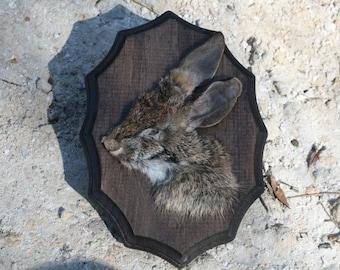 Preserved Cottontail Rabbit Face Plaque 002