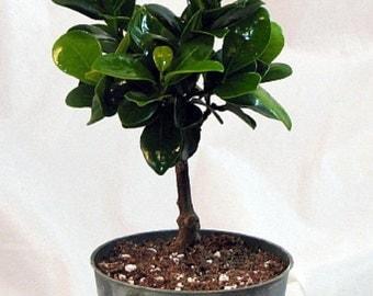 "Green Island Ficus Pre-Bonsai Tree - 4"" Pot"