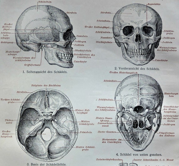 Human skull print. Anatomy engraving. Old book plate, 1904. Antique  illustration. 112 years lithograph. 9'6 x 6'2 inches.