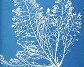 Cytoseira granulata. Copy of cyanotype print by early British photographer Anna Atkins