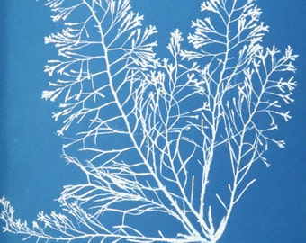 Cytoseira granulata. Copy of cyanotype print by early British photographer Anna Atkins