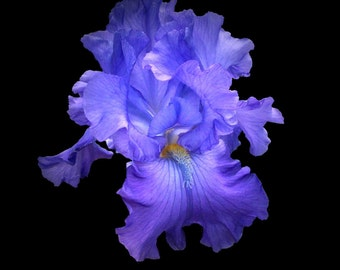The Iris collection # 1 - Unique and quality photographs of beautiful individual flowers