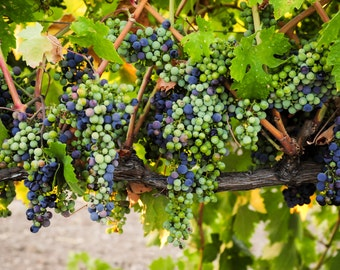 Vineyard/Grapes Greeting Card collection, friendship collection.